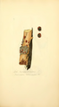 Coloured Figures of English Fungi or Mushrooms - t. 271.png