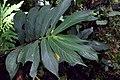 Columnea ericae (Gesneriaceae) (29575652702).jpg