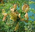 Colutea arborescens. Bladder senna (45597194582).jpg