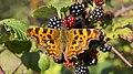 Comma butterfly (10207656445).jpg