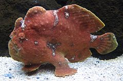 Commerson's frogfish (Antennarius commerson) in Waikiki Aquarium.JPG