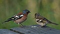 Common Chaffinches (Fringilla coelebs) - Oslo, Norway.jpg