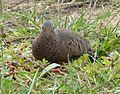 Common Ground Dove. Columbina passerina - Flickr - gailhampshire (1).jpg