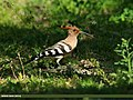 Common Hoopoe (Upupa epops) (26034622641).jpg