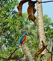 Common Kingfisher, Manoharpur Village.jpg