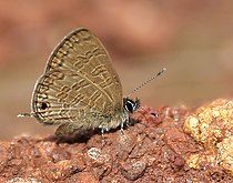 Common Lineblue (Prosotas nora) in Anantgiri, AP W IMG 8820.jpg
