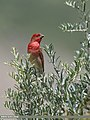 Common Rosefinch (Carpodacus erythrinus) (48660193332).jpg