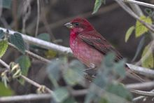 Common Rosefinch Neora Valley National Park Darjeeling West Bengal India 30.04.2016.jpg