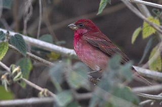 Common rosefinch species of bird