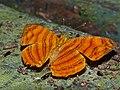 Common Small Orange Mapwing (Chersonesia rahria) (15435503770).jpg