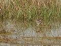 Common Snipe (Gallinago gallinago) & Green Sandpiper (Tringa ochropus) (35716316881).jpg