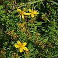 Common St. John's-Wort (Hypericum perforatum) - Oslo, Norway 2020-08-29 (03).jpg