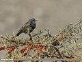 Common Starling (Sturnus vulgaris) (33137673262).jpg