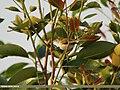 Common Tailorbird (Orthotomus sutorius) (15894004792).jpg