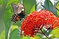 Common mormon (Papilio polytes romulus) female underside.jpg