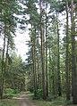 Coniferous Woodland, near Quatford, Shropshire - geograph.org.uk - 407094.jpg