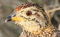 Coqui francolin, Peliperdix coqui at Polokwani Nature Reserve (14677245352).jpg
