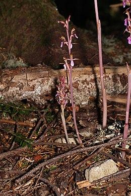 Corallorhiza mertensiana 9316