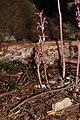 Corallorhiza mertensiana 9316.JPG