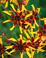Coreopsis tinctoria Tiger Stripes — nickton 001.jpg