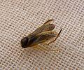Corixidae ,Pleidae. Lesser backswimmer.Heteroptera - Flickr - gailhampshire.jpg