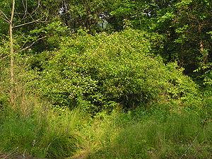 Cornus amomum - Image: Cornus amomum form 01