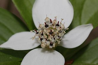 Cornus - In species such as this Cornus × unalaschkensis, the tiny four-petaled flowers are clustered in a tightly packed, flattened cyme at the center of four showy white petal-like bracts.