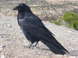 Corvus corax along road.JPG