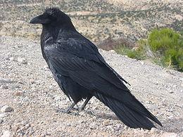 Corvus corax along road.JPG