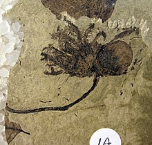 Corylus johnsonii Holotype SR 98-01-02 A.jpg
