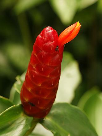 Cahuita National Park - Image: Costus woodsonii (flower)