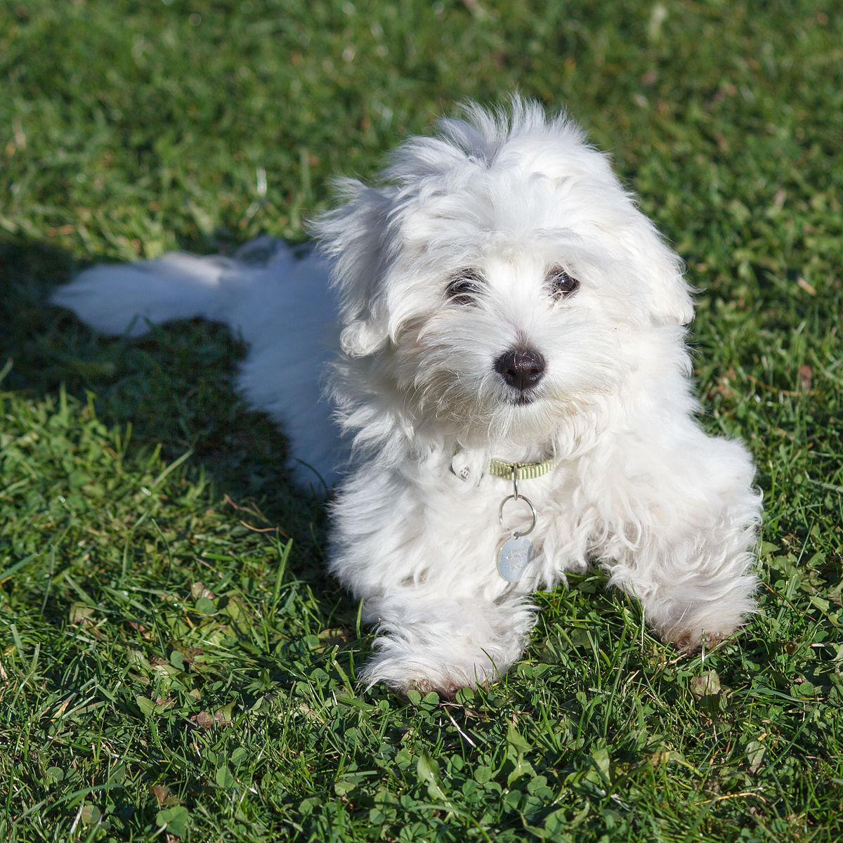 Coton de Tulear Puppy-5899.jpg
