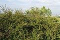 Cotoneaster divaricatus kz04.jpg