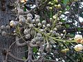 Couroupita guianensis Aubl. (2370657700).jpg