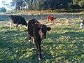 Cow in Country Victoria, Australia.JPG
