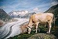 Cow in front of Aletsch Glacier.jpg