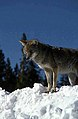 Coyote024 (26841417202).jpg