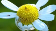 Datei:Crab Spider Attacks.webm