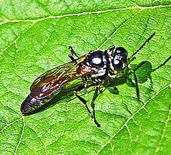 Bộ sưu tập côn trùng 2 250px-Crabronidae_-_Trypoxylon_scutatum