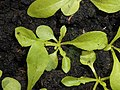 Crepis capillaris 2018-07-05 3552.jpg