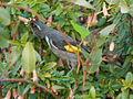 Crescent Honeyeater Male.jpg