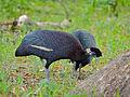 Crested Guineafowls (Guttera edouardi) (11770558283).jpg