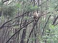 Crested serpent eagle sited at kodaikanal.jpg