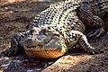 Crocodylus mindorensis by Gregg Yan 01.jpg