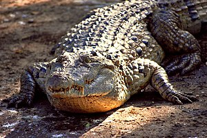 Philippine crocodile - An adult Crocodylus mindorensis basking