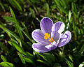 Crocus Flower 5150.jpg