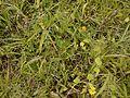Crotalaria filipes Benth. (6230771626).jpg