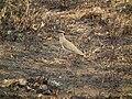Crowned Lapwing Vanellus coronatus in Tanzania 3187 Nevit.jpg