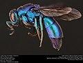 Cuckoo wasp (Chrysididae, Chrysis sp.) (36073553291).jpg