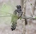 Cuculus solitarius, onvolw in Mkhuze-wildreservaat, Birding Weto, a.jpg
